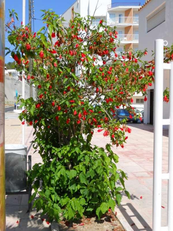 Malvaviscus arboreus v 3