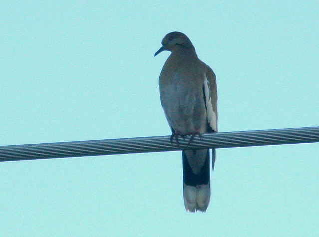White-winged Dove 20101201