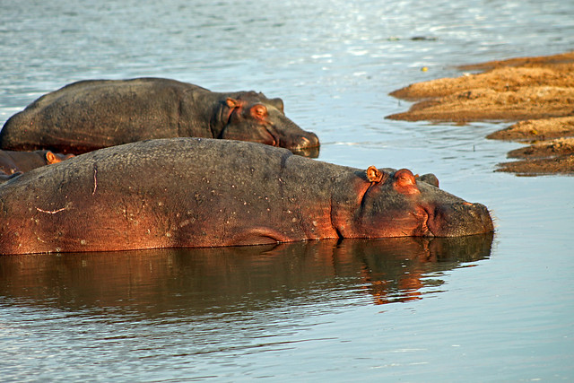 Hipopótamos (Hippopotamus amphibius) en el parque nacional Ruaha. Tanzania.