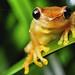 Dendropsophus species by Techuser
