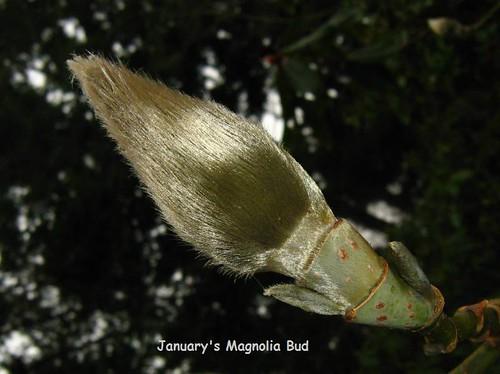 Saucer Magnolia (magnolia soulangiana) bud Finnerty Gardens