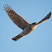 Sparrowhawk in flight