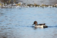 northern pintail2 by photolyn