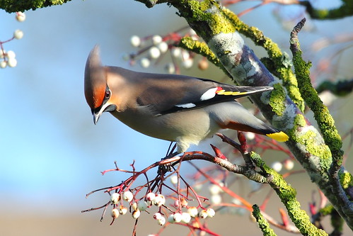 Wonderful Waxwing