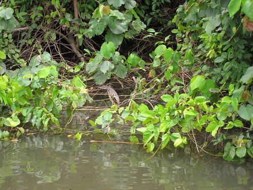 mały krokodyl wylegujący się na brzegu rzeki Daintree