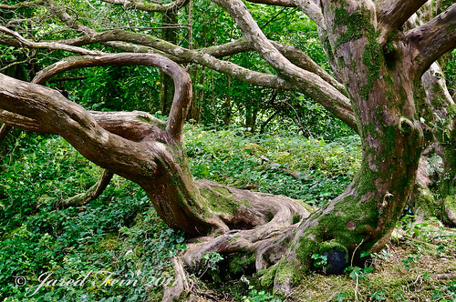 ireland tree nature garden kerry explore killarney trunk flickrexplore explored treesubject sewerdoc ©jaredfein