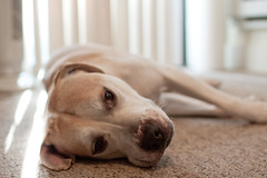 Pet Dog - Garden Centre Online