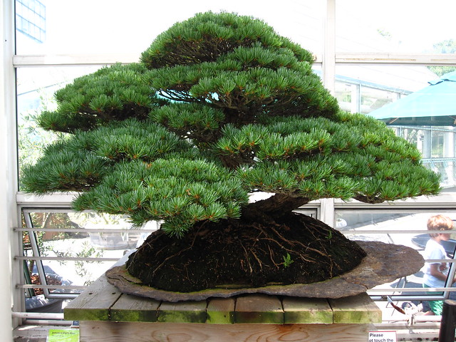 Japanese while pine (Pinus parviflora) in raft style. Photo by Rebecca Bullene.