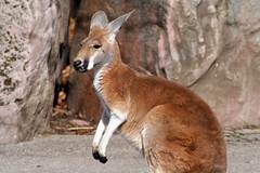 white-tailed deer(0.0), musk deer(0.0), wallaby(1.0), animal(1.0), marsupial(1.0), mammal(1.0), kangaroo(1.0), fauna(1.0), wildlife(1.0),