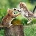 gatos kung fu