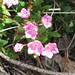 Small photo of Alpine Laurel