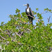 Magnificent Frigatebird (Christine George)