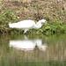 Snowy Egret (John Caddick)