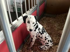 animal, dog, pet, mammal, dalmatian, animal shelter,