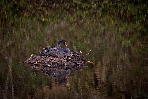 Black Swan Nesting