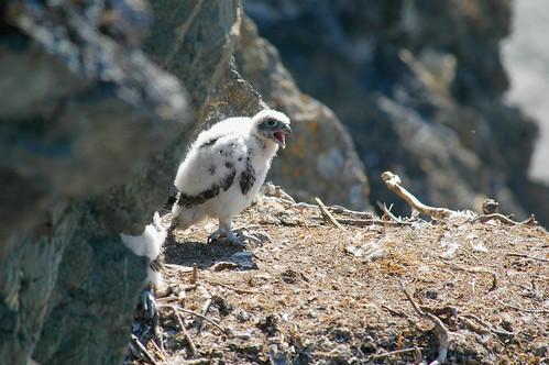 Gyrfalcon Chick
