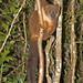 Female Red-bellied Lemur (Paul Stanbury)