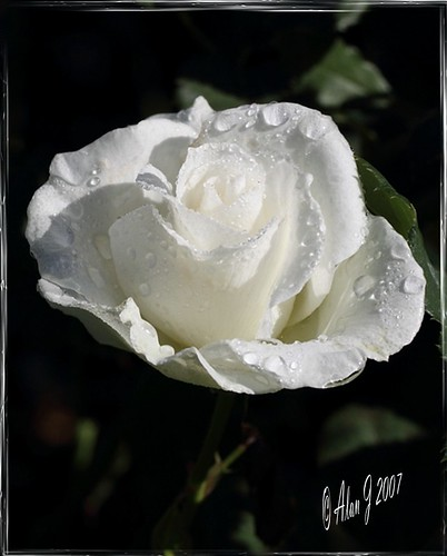 ny newyork flower rose canon 7d upstatenewyork photosandcalendar flowersarebeautiful centralparkschenectady flickrflorescloseupmacros photosandcalenda panoramafotográfico mygearandme 100mmmacrof28lisusm frommetoyouwithlove