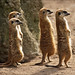 Meerkats on the lookout
