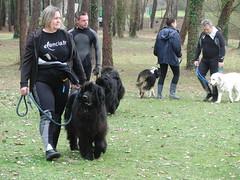 animal, dog, walking, pet, mammal, dog walking, newfoundland,