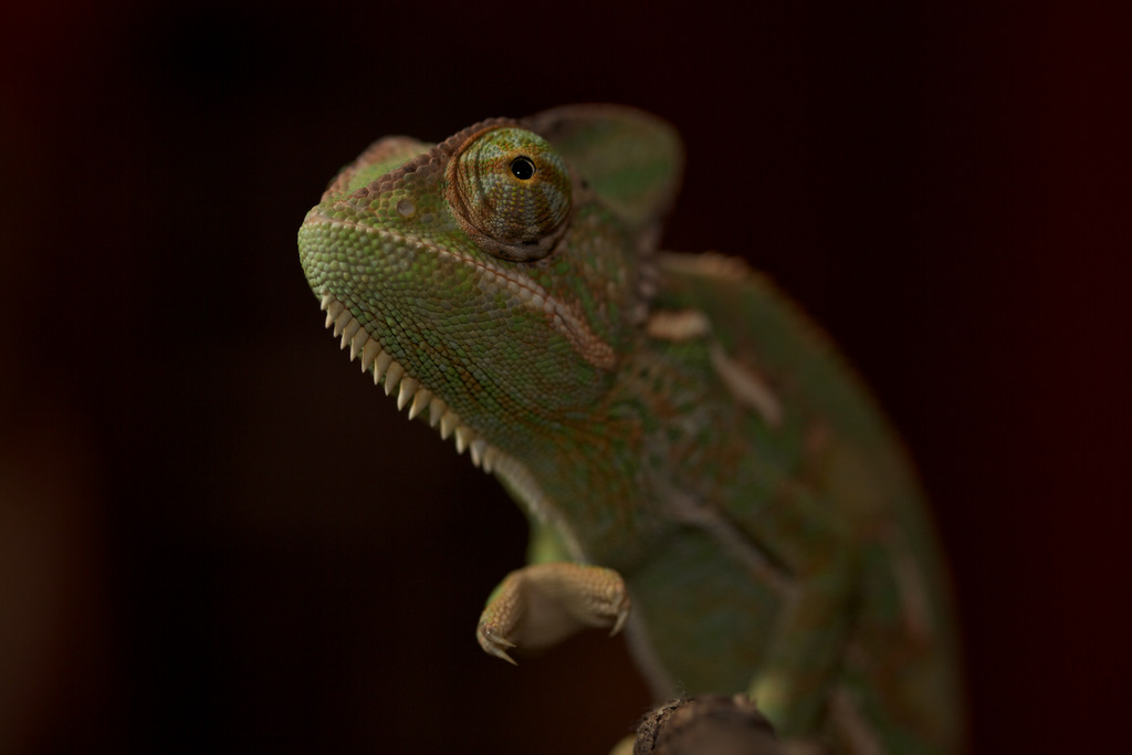 10 things you didn�t know about chameleons 171twistedsifter