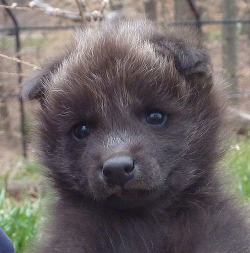 Maned wolf cub needs a name