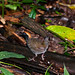 Mexican Antthrush - Photo (c) Dario Sanches, some rights reserved (CC BY-SA)