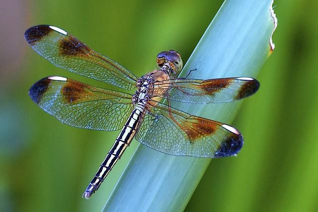 Dragonfly Macro | Fl