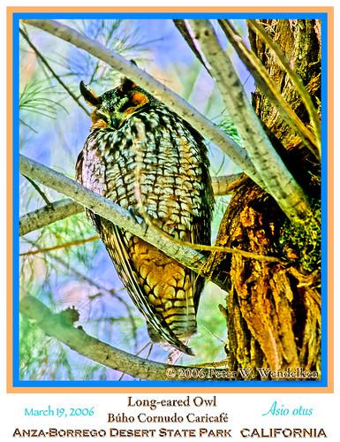 california owl anzaborrego birdsofprey californiadesert longearedowl asio lechuza bujo mochuelo asiootus owlphoto birdsofcalifornia lechucita owlroost anzaborregopark peterwendelken owlphotobypeterwendelken longearedowlphoto buhocornudocaricafé fotodebujo