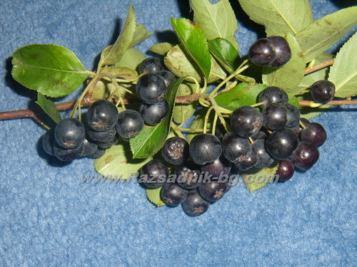 Арония - Aronia melanocarpa (Sorbus melanocorpa) by Овощен Разсадник Елит