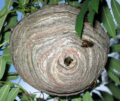 tree puu vespidae sorbus aucuparia vespoidea