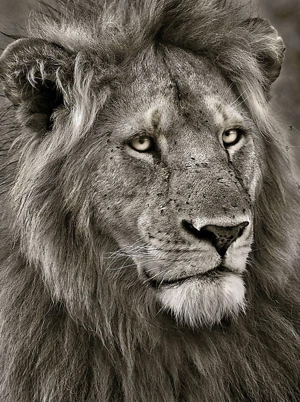 Young male Massai Mara