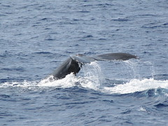 animal, marine mammal, whale, ocean, marine biology, grey whale, wind wave,