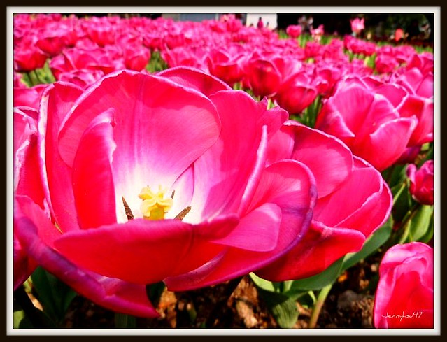 Photo:Common Garden Tulipa-- 鬱金香02 By jennyhsu47