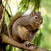 Douglas' Squirrel - Photo (c) Ken McMillan, some rights reserved (CC BY)