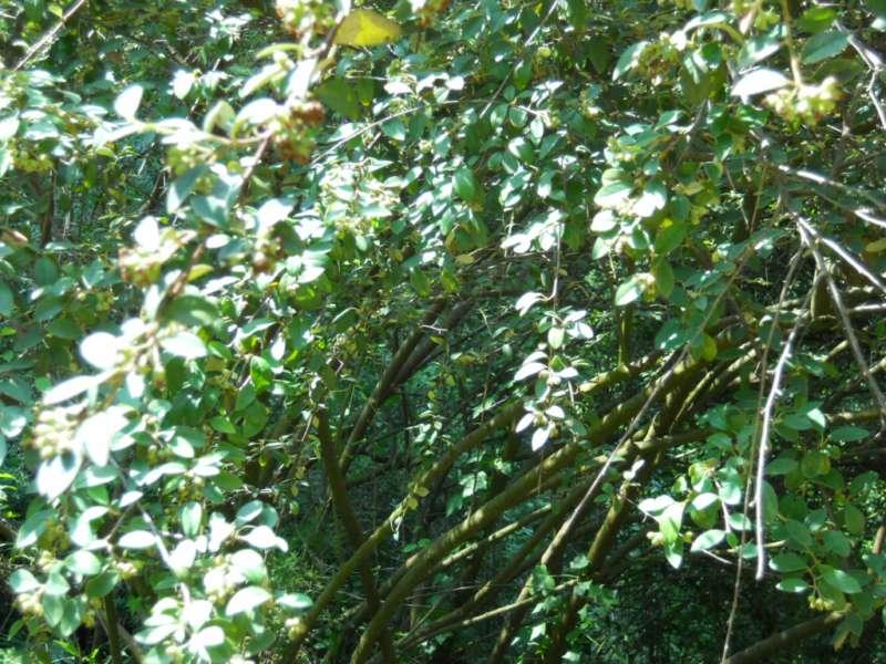 Cotoneaster pannosus 3