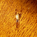 Small photo of Episinus angulatus. Theridiidae