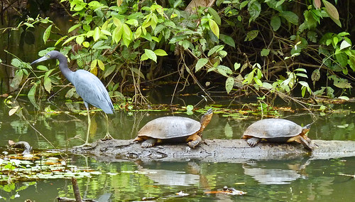 River Turtles and Blue Heron