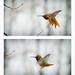 Hummingbird by Rygood