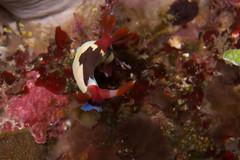fish(0.0), pomacentridae(0.0), coral reef(1.0), animal(1.0), coral(1.0), marine biology(1.0), invertebrate(1.0), sea slug(1.0), underwater(1.0), reef(1.0),