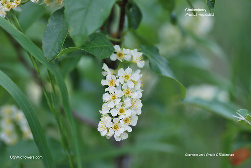 Chokecherry, Western Chokecherry, Black Chokecherry - Prunus virginiana