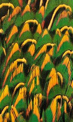 Plumage, yellow and green