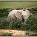 Albino Elephant! by rondeboom