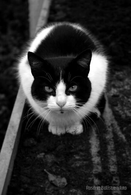 gatto da guardia