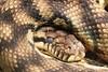 "<a href=""http://www.flickr.com/photos/75905404@N00/5421543565/"">Photo of Morelia amethistina by OZinOH</a>"