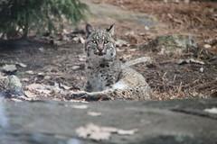 animal, leopard, small to medium-sized cats, mammal, lynx, fauna, wild cat, bobcat, wildlife,