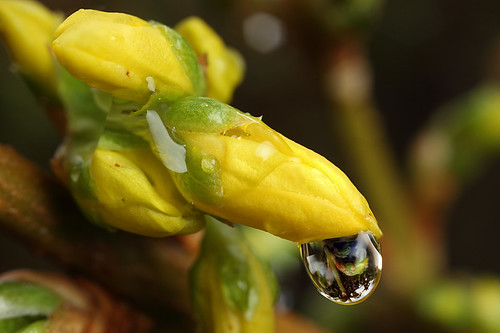Raindrop on Forsythia #1