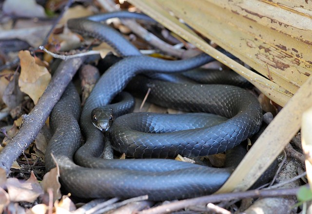 florida black snakes nest