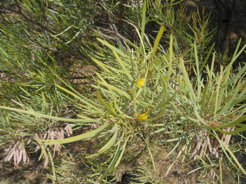 Acacia brachystachya 2