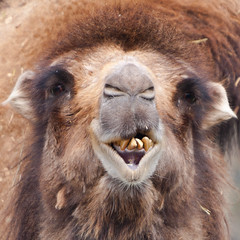 A close up of a Camel